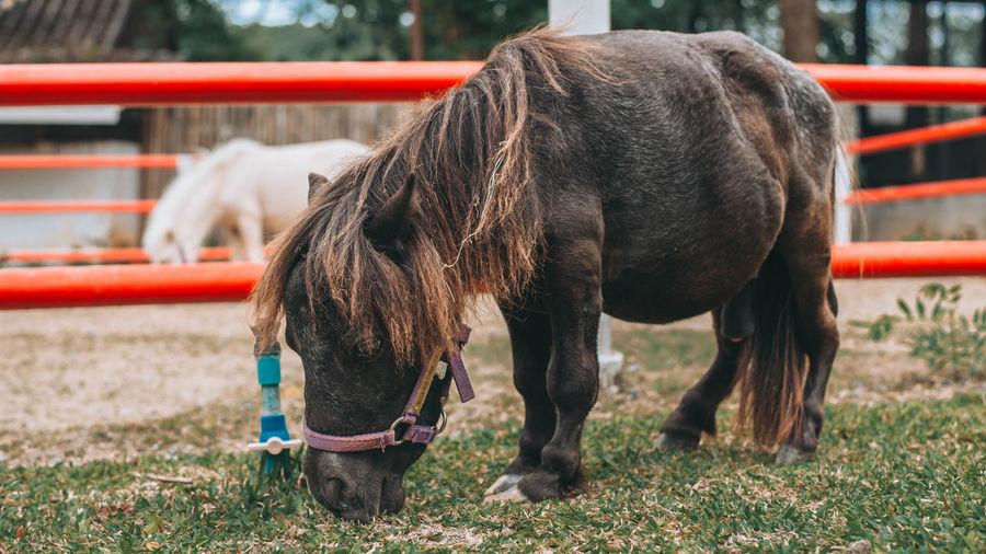 Dwarf horse is
