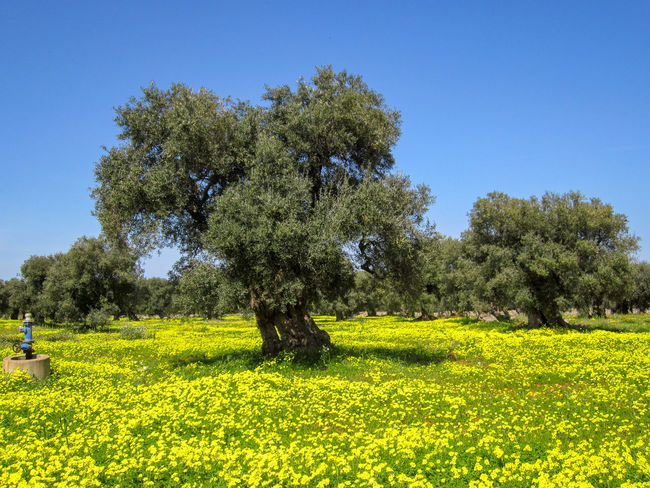 Old olive trees with yellow flowers and green grass in Puglia, Italy Ancient Old Tree Olive Tree Puglia Yellow Flower Agriculture Beauty In Nature Clear Sky Countryside Field Flower Grass Growth Italy Landscape Nature Outdoors Salento Scenics Sky Spring Tranquil Scene Tranquility Tree Valle D'itria