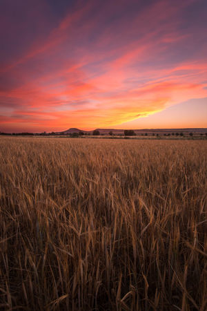 Sunset Wheat Field Wheat Fields Landscape Sky And Clouds Sky High Clouds Tranquil Scene Nature Dawn Evening