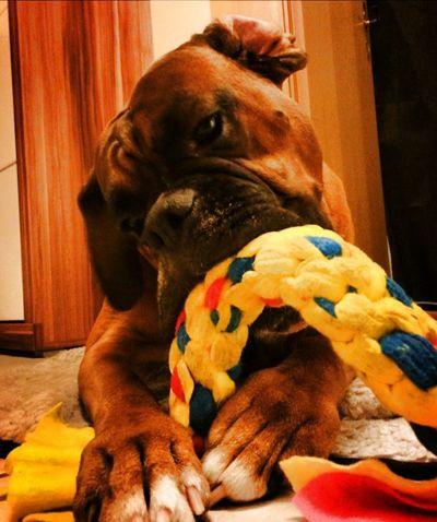 Boxer Dogs Boxer Dog Boxer Dogs Rule Tadaa Community My Dog I Love My Dog