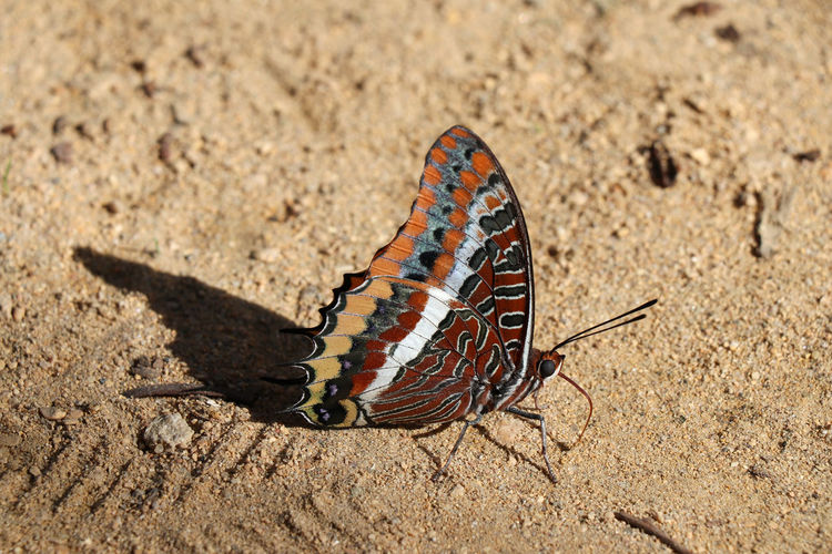 Close up of colorful butterfly Animal Wildlife Animal Themes Animals In The Wild Animal One Animal Invertebrate Insect Nature Animal Wing Land Butterfly - Insect Beauty In Nature Sand Close-up No People Day Animal Markings Sunlight Outdoors Focus On Foreground Butterfly