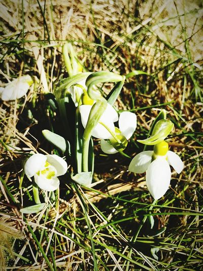 Snowdrop Springtime Growth Petal Freshness Plant Outdoors Close-up Day Beauty In Nature No People Blooming