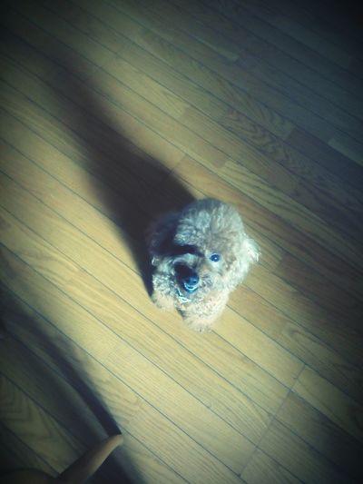 "Home Is Where The Art Is Please, don't show this face if I tell you ""I need to go now baby""..oh.. No..This so cute.. 😍 (jadi kan ga tega buat ninggalinnya)😓 Poodle Poodletoy Dog Lover Doglife Love Enjoying Life Getting Inspired Cutepet Cute Dog"