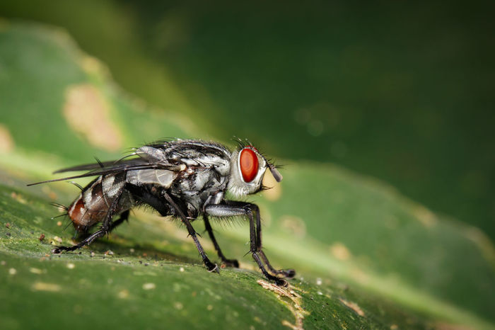 Image of a flies (Diptera) on green leaves. Insect. Animal Flies Bug Fly Red Wing Animal Themes Animals Animals In The Wild Close-up Day Diptera Insect Leaf Nature No People One Animal One Insect Outdoors
