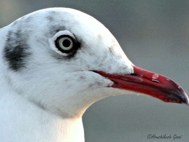 Eye Seagull Seagulls Seagulls At The Lake Redbeak Bird Photography Birds_collection Birdwatching