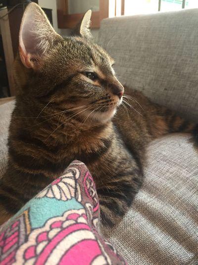 Domestic Cat Pets Animal Themes Catslife Cats Of EyeEm Adoptanocompres