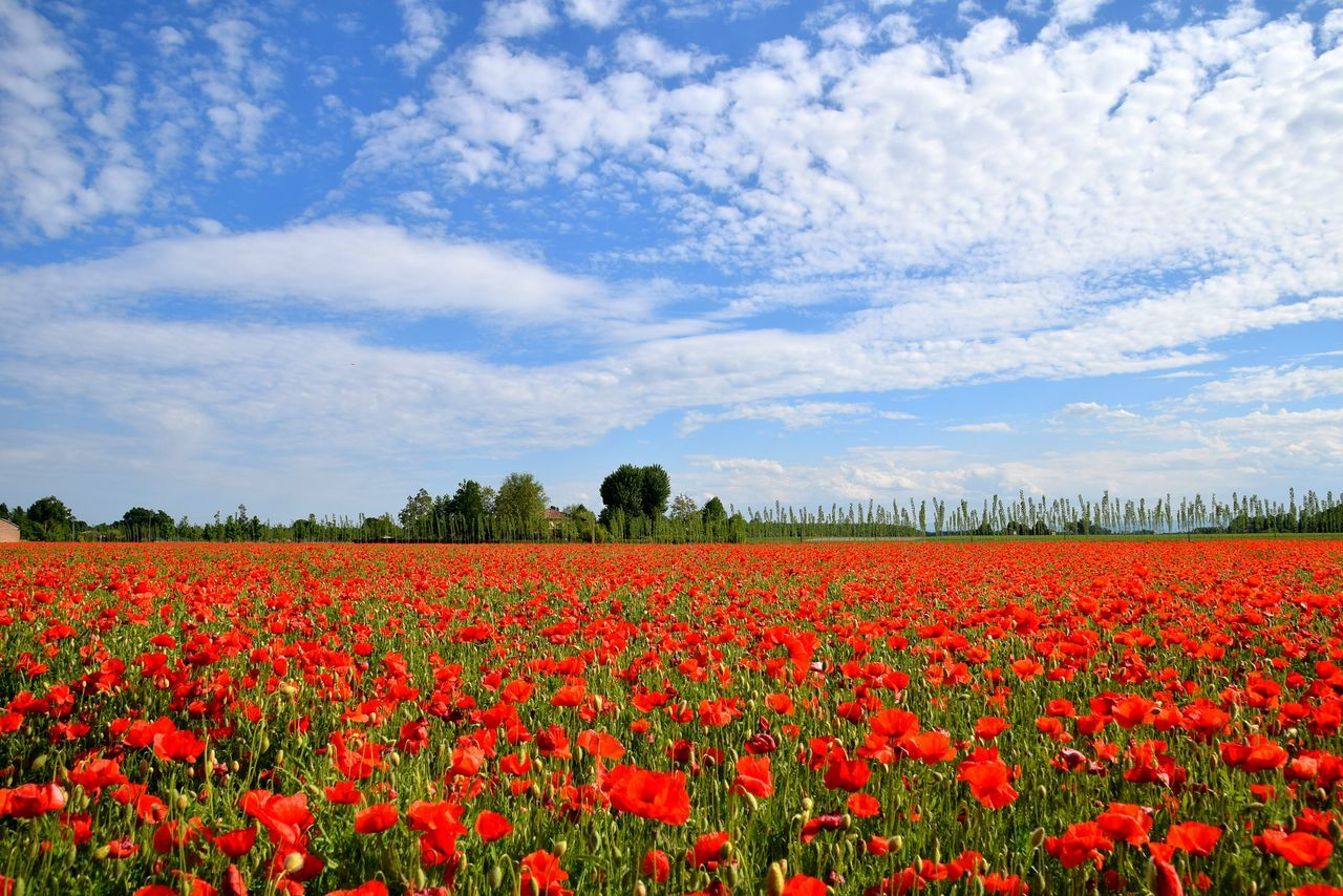 flower, beauty in nature, nature, growth, field, red, fragility, tranquility, freshness, sky, cloud - sky, landscape, tulip, plant, no people, petal, rural scene, outdoors, day, agriculture, tranquil scene, flower head, blooming, scenics, poppy, springtime, yellow, flowerbed, tree