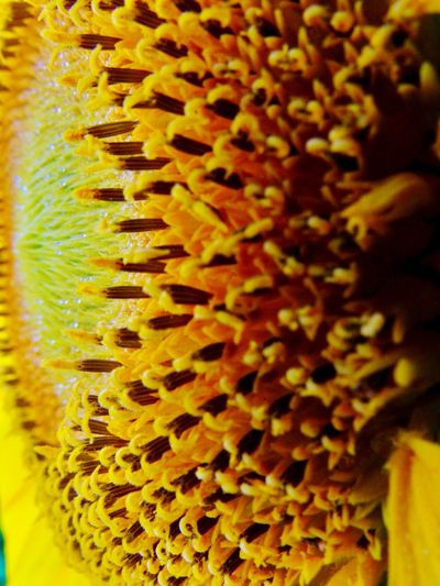 Yellow Close-up No People Full Frame Indoors  Selective Focus Pattern Flower Backgrounds Freshness Day Nature Flower Head Sunflower Macro Sunflower Seeds Close Up Gold Indiana MidWest