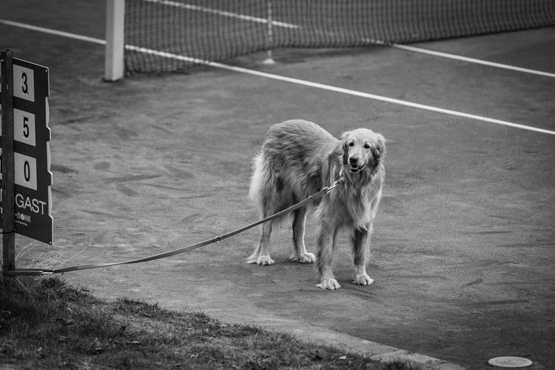 Dog not interested in watching the tennis match Dogs Blackandwhite Tennis Net Animal Themes Animal Mammal Canine Outdoors No People Domestic Animals Pets