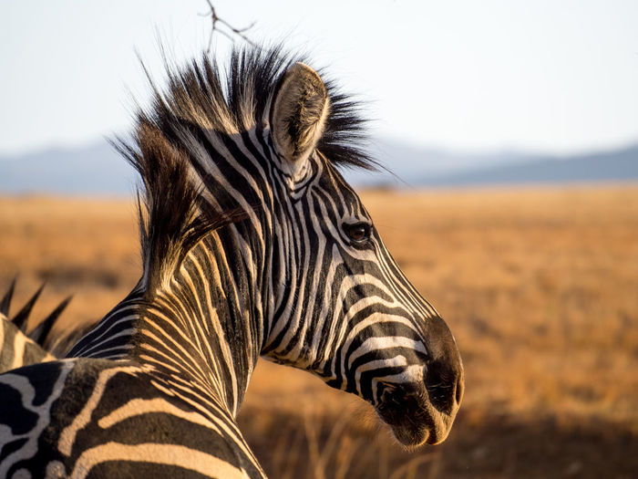 Close-up portrait of zebra on field against sky