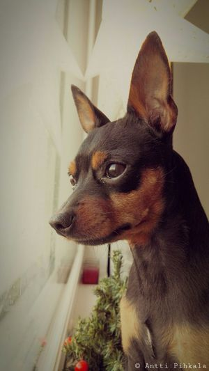 My buddy boy ✌😊 Miniature Pinscher Lookout Dog Dogstagram