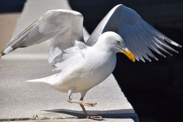 Close-up of seagull flapping wings