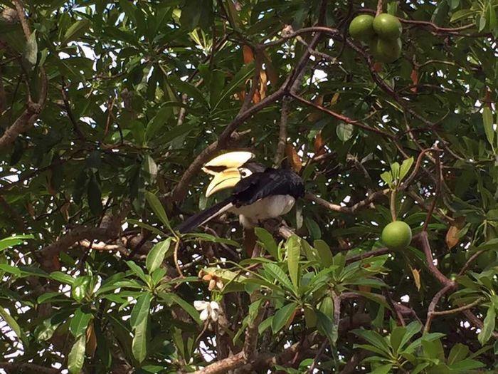 Burung Kenyalang Bird Tree In The Middle Of Nowhere Wild Bird
