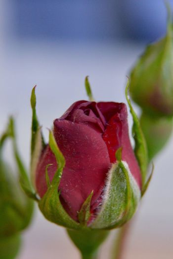 By any other name Nature Flower Growth Fragility Beauty In Nature Petal Freshness Plant Close-up Rose - Flower No People Flower Head Leaf Focus On Foreground Day Outdoors