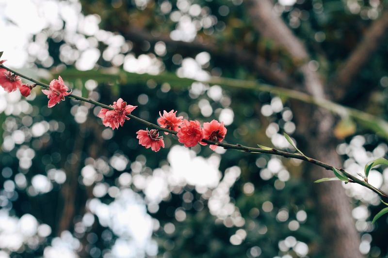Close-up of red cherry blossoms in spring