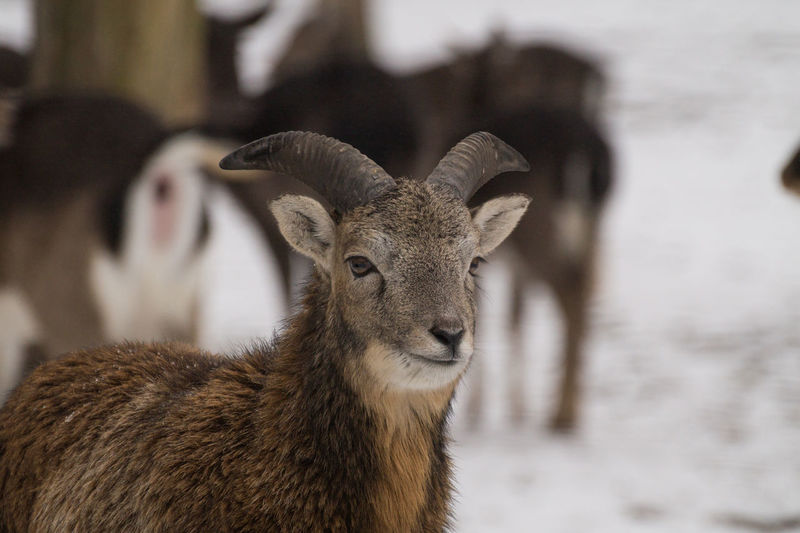 Nature Winter Animal Animal Themes Day Domestic Animals Focus On Foreground Mammal Mouflon No People One Animal Outdoors Portrait Snow