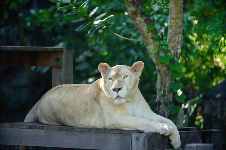 Close up of lion relaxing in zoo