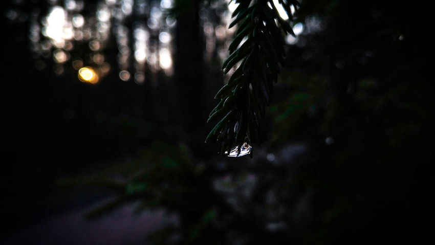 Spruce Spruce Tree Fir Pine Photography Abstract Photography Nature Focus On Foreground Tree No People Outdoors Night Close-up Growth Beauty In Nature Fragility Water Freshness