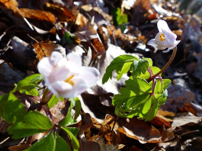 Windflower Spring Plant Growth Leaf Beauty In Nature Plant Part Close-up Nature White Color No People Flower Winter Freshness Cold Temperature Flower Head Flowering Plant Outdoors EyeEm Nature Lover EyeEm Best Shots - Nature Day Forest Forestwalk Focus On Foreground Snow