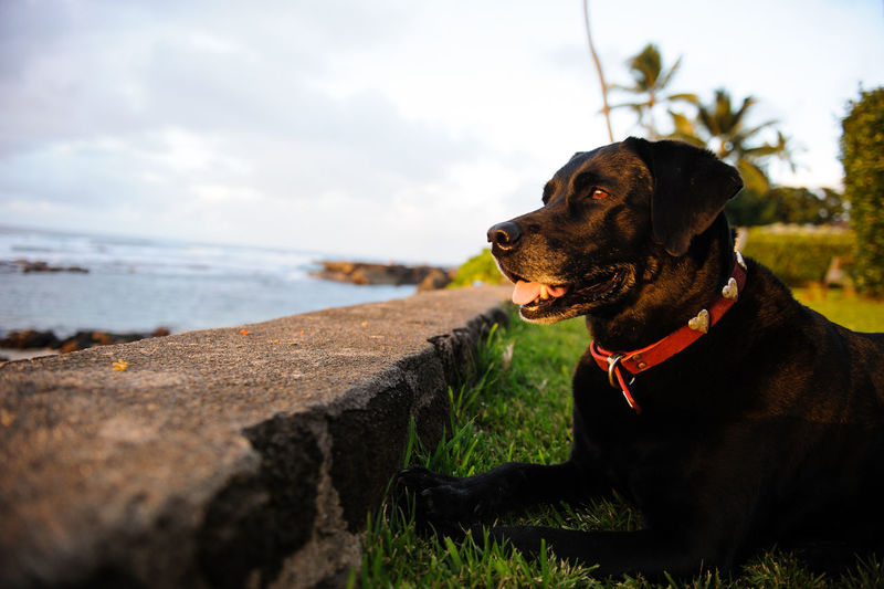 Black Labrador Retriever dog lying down looking out at ocean One Animal Canine Dog Animal Themes Animal Water Sea Sky Pets Domestic Animals No People Outdoors Purebred Dog Nature Looking Away Day Black Labrador Black Lab Labrador Retriever Black Labrador Retriever Hawaii Ocean