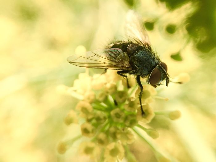 Macro Of Fly Macro Photography Fly On Flower yellow flower