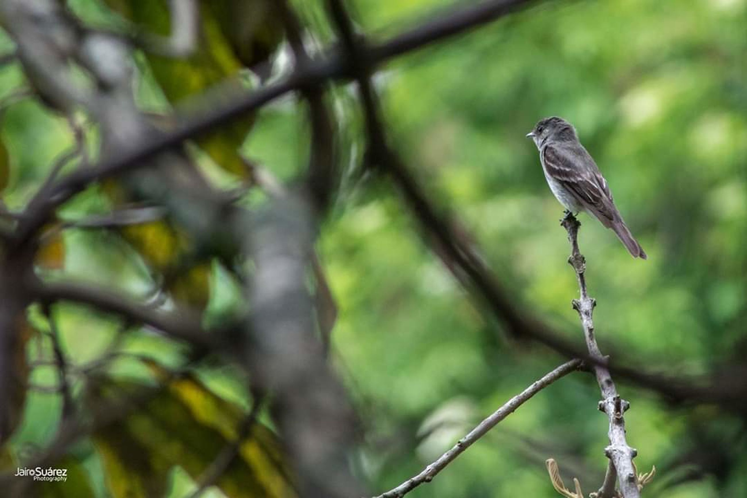 animal wildlife, animals in the wild, vertebrate, one animal, bird, tree, plant, perching, no people, focus on foreground, branch, nature, day, outdoors, close-up, sparrow, forest