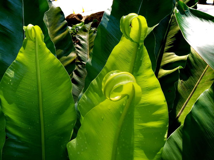 bird's nest fern with dew drop Bird's Nest Fern Dew Rain Sunlight Banana Banana Leaf Beauty In Nature Botany Close-up Day Fern Freshness Full Frame Green Color Growth High Angle View Leaf Leaves Light And Shadow Natural Pattern Nature No People Outdoors Plant Plant Part Vulnerability