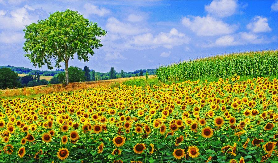 Sunflower field Agriculture Beauty In Nature Cloud - Sky Corn Day Dordogne Field Flower France Idyllic Landscape Lot Et Garonne Nature Plant Rural Scene Scenics Sky Sunflower Field Sunflowers Tree Yellow