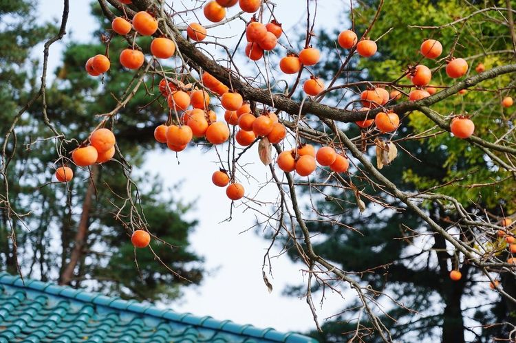 Fruit Tree Orange Color Food And Drink Low Angle View Outdoors Citrus Fruit Day Freshness Healthy Eating Food Nature No People Branch Orange Tree Growth Beauty In Nature Leaf Winter Close-upPersimmon The Week On EyeEm 청남대 Hsun Nature EyeEmNewHere