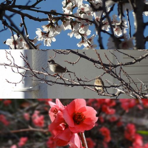 Enjoying Life Sprig Collage Relaxing Nature Springtime Flower Blooming New Life Cherry Blossom Branch Freshness Beauty In Nature Buddies Sparrow Twig Perching