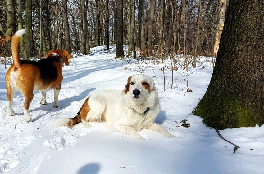 Backside Backside Portrait Moritz Gassi Gehen No People Portrait Portrait Of Two Dogs EyeEm Best Shots EyeEmNewHere EyeEm Nature Lover Winter Beagle Dogs Dogs Of EyeEm Two Dogs Forest Photography Forestwalk Snow ❄ Snow Tree Trees Light And Shadow Puppy