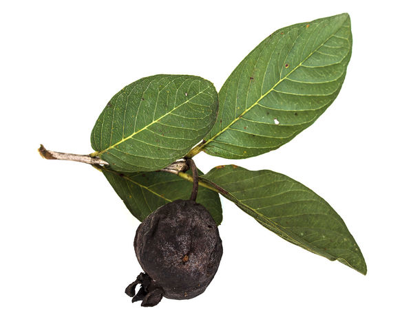 Dry guava with leaves on white background Agriculture ASIA Background Essence Food Fruit Guava  Isolated Nutrition Object Sap Unprocessed Unsual