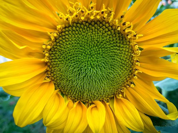 Composite Flower Yellow Ray Flower Disc Flower Florets Green Color Spiral Pattern Helianthus Annuus Helianthus Sunflower Head Sunflower Giant Sunflower Pollen Flower Stamens Flower Petal Beauty In Nature Freshness Blooming Springtime Close-up No People Outdoors Day November 2017 —