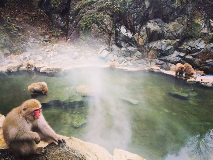 Snow Monkey in Jigokudani Monkey Park Japan near Nagano, Japan Looking Good Chilling with Family and Friends Enjoying Life and Enjoying Nature in a Natural Hot Spring . This is a place worth Hiking to via the Nakasendo Highway Hiking Adventures Hikingadventures Hiking Trail Monkeys Monkey Furry Friends Furry