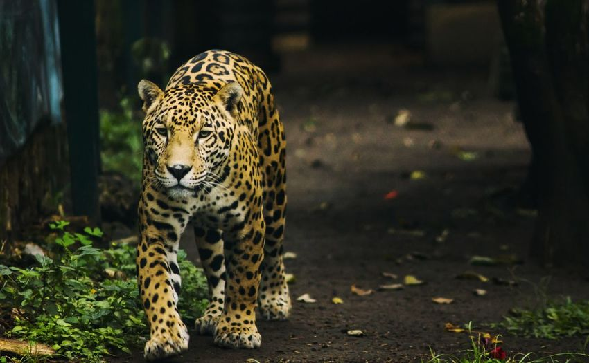 Leopard Walking On Field