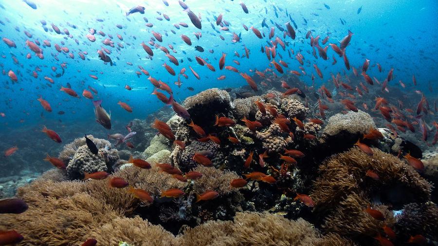 Anthias fish at pulong bato