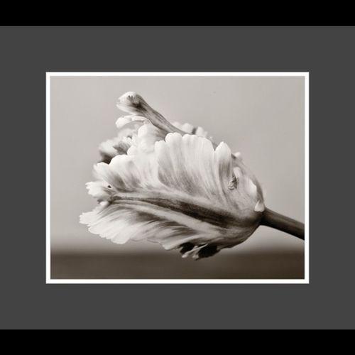 Parrottulip Flower Blackandwhite Bw Lobo_bw Lobostudio Lobo_flowers Yankee_challenge1
