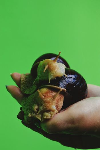 Cropped Image Of Hand Holding Snails Against Green Background