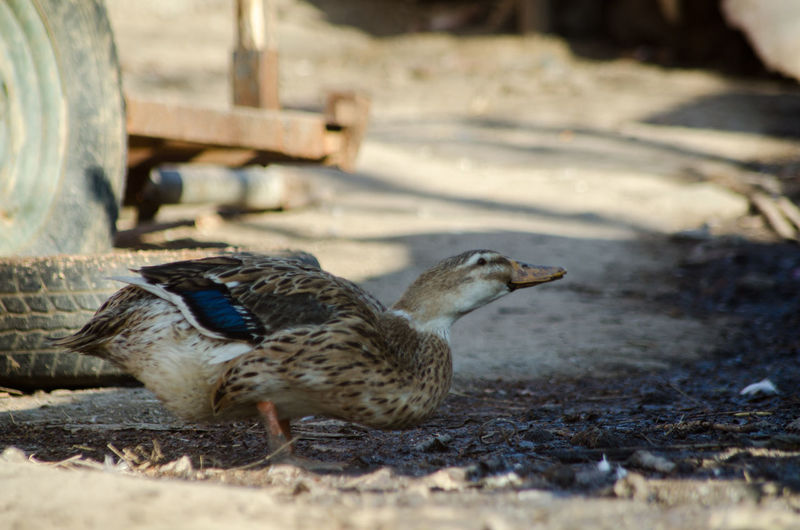 Close-up of duck on land