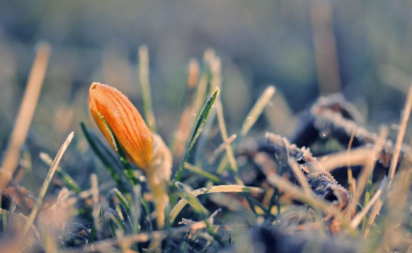 Close-up of orange crocus on field