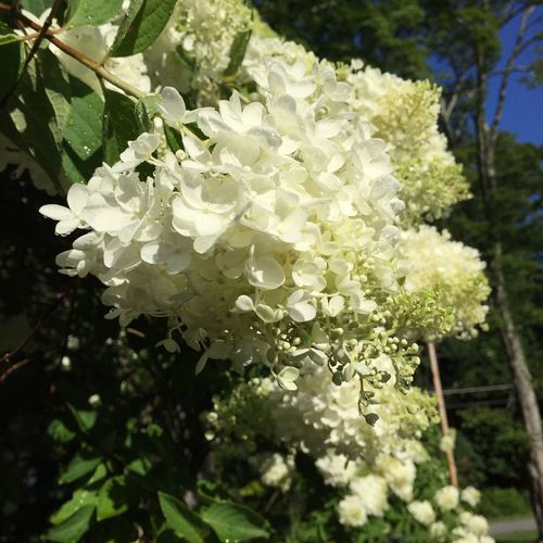 Hydrangea Check This Out Flowers Kenozalake