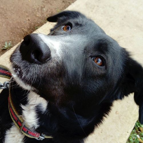 o benim kızım Borador Labrador Border Collie Labcollie Border Collie Mix Girl Girls Black Siyah Siyahbeyaz Blackandwhite Kehribar Brown Köpek Animal Themes Hayvanlar One Animal Dog Pets No People Day Outdoors Nature