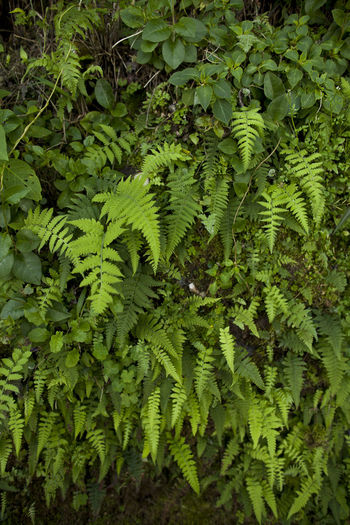Backgrounds Beauty In Nature Day Ferns Freshness Frond Green Color Growth Leaf Lush Foliage Nature No People Outdoors Plant
