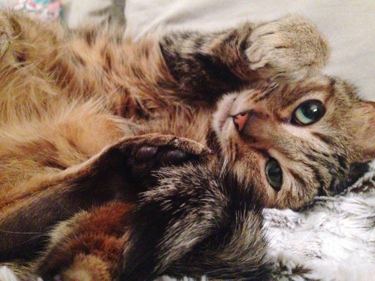 Pet Portraits Mikhail Cat Kitkat Ohhithere Greeneyes Biggreeneyes