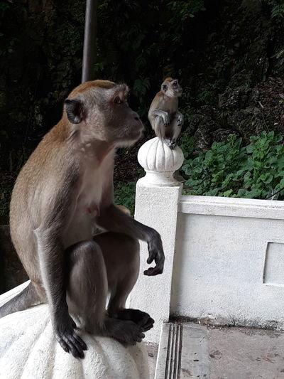 Kuala Lumpur Malaysia Monkeys Watching Monkyface Steps Two Monkeys Animal Themes Vertebrate Animal Animal Family Outdoors Sitting Looking Pets Domestic Animals Temple Waiting Food