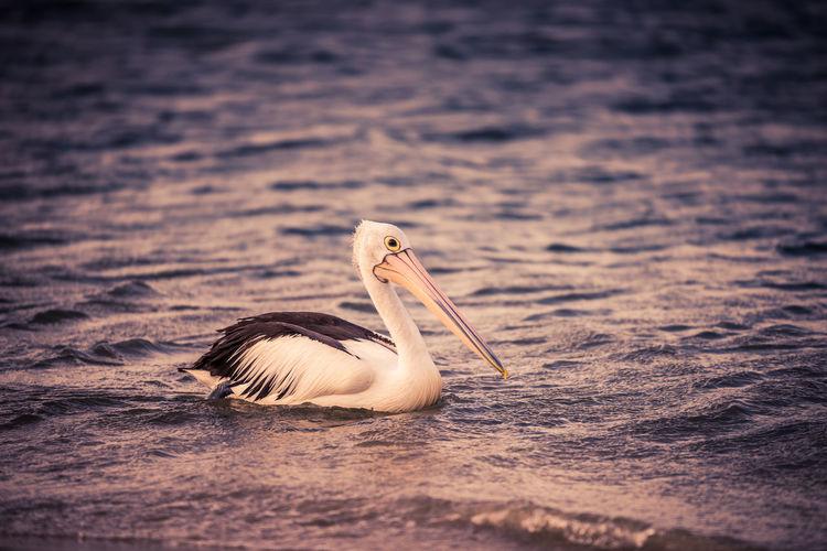 View of pelican swimming in lake