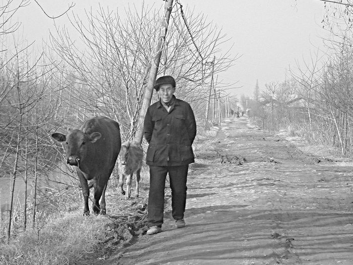 Black And White China Rural Looking At Camera Old Man Strolling With Cows Tranquility Winter Morning Track