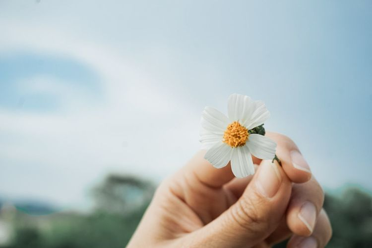 Close-up of hand holding white flowering plant against sky