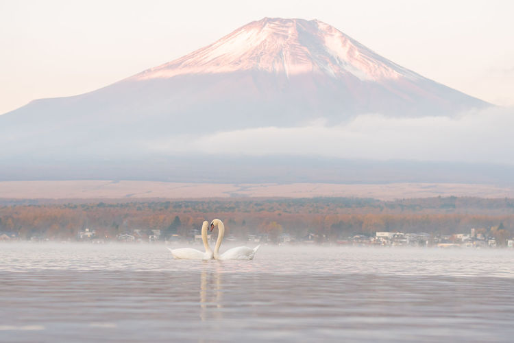 Swans swimming in lake against mountain during foggy weather