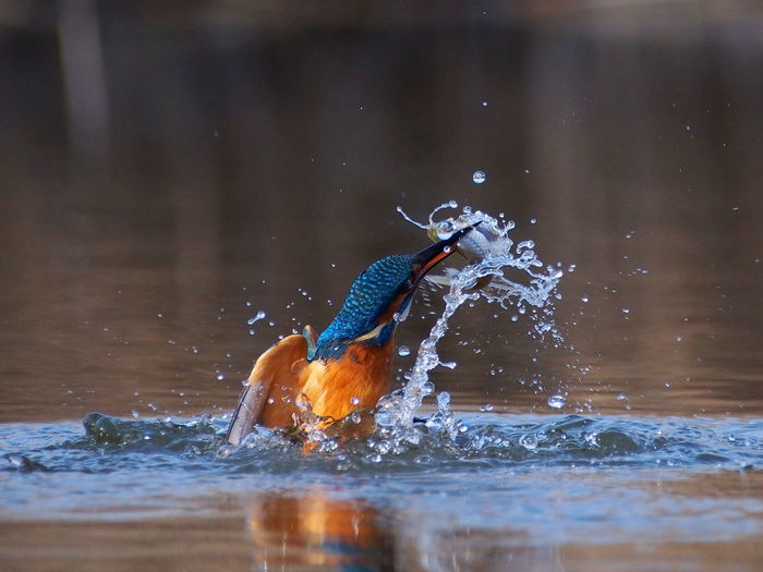 Close-up of kingfisher